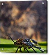 Hemiptera Nymph Walikng 1 Acrylic Print