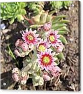 Hens And Chicks Flowers Acrylic Print