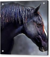 Hercules The Black Stallion Acrylic Print by Dorothy Walker
