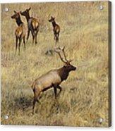 Herd Bull Acrylic Print