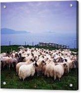 Herding Sheep, Inishtooskert, Blasket Acrylic Print