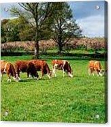 Hereford Bullocks Acrylic Print