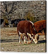Hereford Cattle Acrylic Print