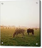 Hereford Cattle, Ireland Acrylic Print