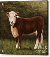 Hereford Heifer Acrylic Print