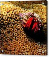 Hermit Crab On Coral Acrylic Print