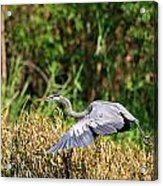 Heron Flying Along The River Bank Acrylic Print
