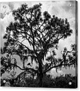 Heron In Pine Acrylic Print