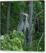 Heron On A Limb Acrylic Print