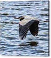 Heron Over Water Acrylic Print