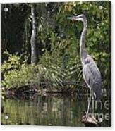 Heron Overlord Acrylic Print