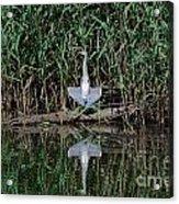 Heron Sunbath Acrylic Print