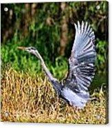 Heron Taking To Flight Acrylic Print