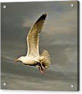 Herring Gull Larus Argentatus Acrylic Print