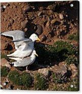 Herring Gulls Mating Acrylic Print