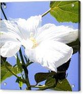 Hibiscus -1 Acrylic Print