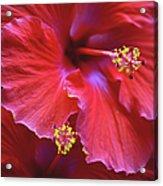 Hibiscus Duo Acrylic Print