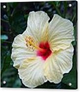 Hibiscus Faded Beauty Acrylic Print