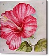 Hibiscus Flower Acrylic Print by Draia Coralia