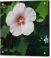 Hibiscus In Panama Acrylic Print