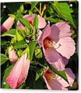 Hibiscus In Summer Acrylic Print