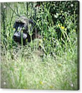 Hiding In Tall Grass Acrylic Print