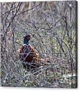 Hiding Pheasant Acrylic Print