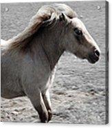 High Spirited Pony Acrylic Print