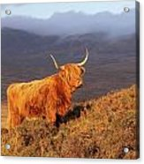 Highland Cattle Landscape Acrylic Print