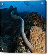 Highly Venomous Olive Sea Snake Acrylic Print