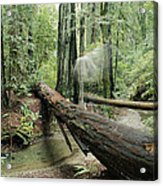 Hiker Moving Over A Fallen Redwood Tree Acrylic Print