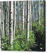 Hiking Through Aspens At Beaver Creek Acrylic Print