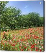 Hill Where A Poppy Bloom Acrylic Print