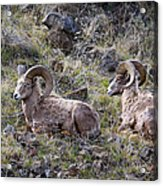 Hillside Rams Acrylic Print
