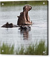 Hippo In Water Exhibits Aggresive Acrylic Print