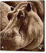 Hippo Of Khwai Acrylic Print