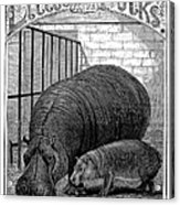 Hippopotamus Acrylic Print