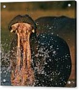 Hippopotamus Hippopotamus Sp., Zambezi Acrylic Print by Chris Johns