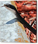 Hiss With Forked Tongue Acrylic Print by Artistic Photos