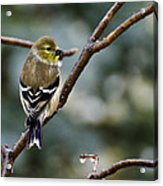 Ho Hum Bird In An Ice Storm Acrylic Print