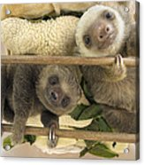 Hoffmanns Two-toed Sloth Orphaned Babies Acrylic Print