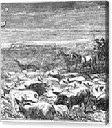 Hog Driving, 1868 Acrylic Print