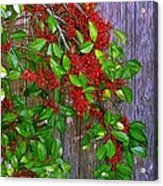 Holly Berries Acrylic Print