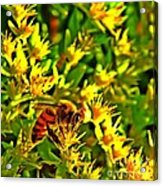 Honey Bee And Sedum  Acrylic Print