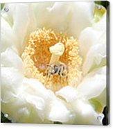Honey Bee In Cactus Acrylic Print