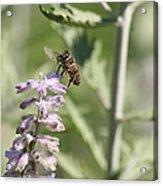 Honey Bee In Flight On Lavender Acrylic Print