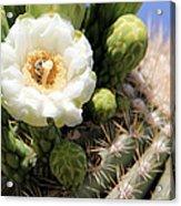Honey Bee's Dream Acrylic Print