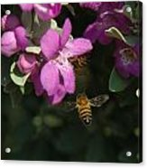 Honey Bees On Sage 3 Acrylic Print
