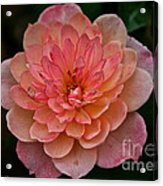 Honey Bunch Acrylic Print