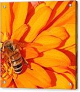 Honeybee On An Orange Zinnia Acrylic Print